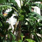 Casco di banane...a Diano Marina (Ph. Giuliano Tavernelli)