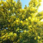 Esplosione di mimosa a Diano Marina (Ph: Giuliano Tavernelli)
