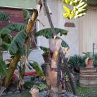Le banane di Diano Marina (Ph: Giuliano Tavernelli)