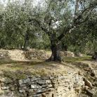 Ulivi e olio (Ph: Provincia di Savona)